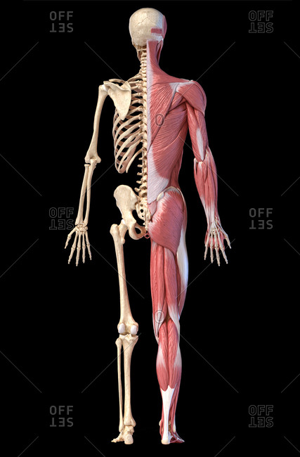 Human body, 3d illustration. Full figure male muscular and skeletal systems, rear view on black background.