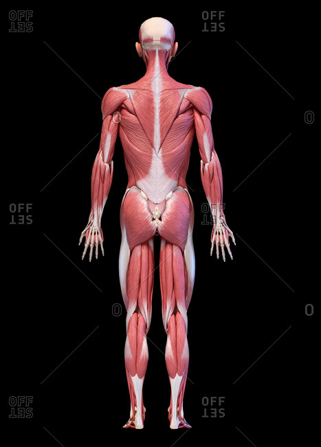 Human anatomy 3d illustration, male muscular system full body, back view on black background.