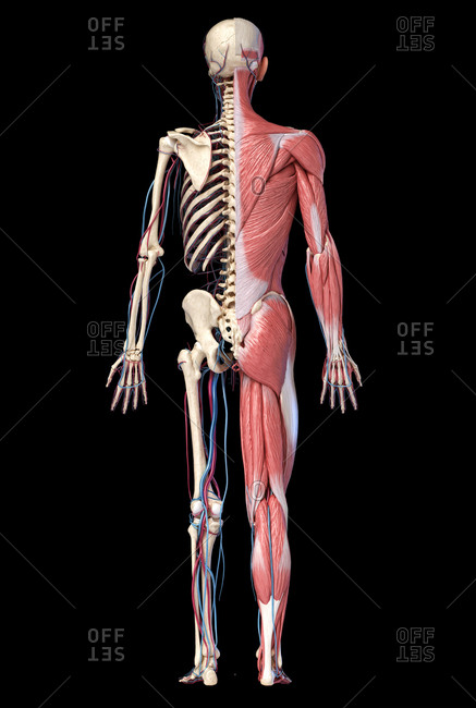 3d Illustration of Human full body skeleton with muscles, veins and arteries.