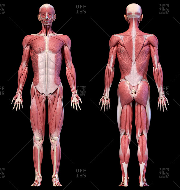 Human anatomy 3d illustration, male muscular system full body, front and back views on black background.