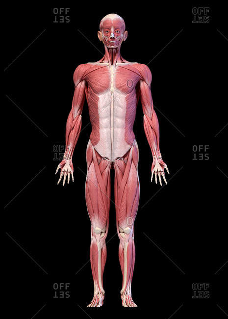 Human anatomy 3d illustration, male muscular system full body, frontal view. On black.