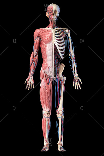 Human Anatomy full body skeletal, muscular and cardiovascular systems. Front view, on black background. 3d illustration.