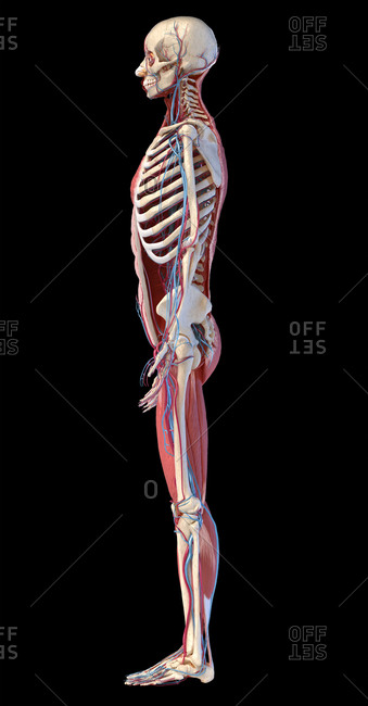 Human Anatomy full body skeletal, muscular and cardiovascular systems. Side view, on black background. 3d illustration.