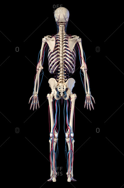 Human body anatomy. 3d illustration of Skeletal and cardiovascular systems. Rear view. On black background.