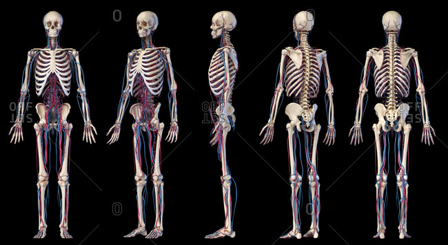 Human body anatomy. 3d illustration of Skeletal and cardiovascular systems. Multiple angles views. On black background.