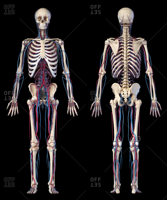 Human body anatomy. 3d illustration of Skeletal and cardiovascular systems. Two views, front and back. On black background.
