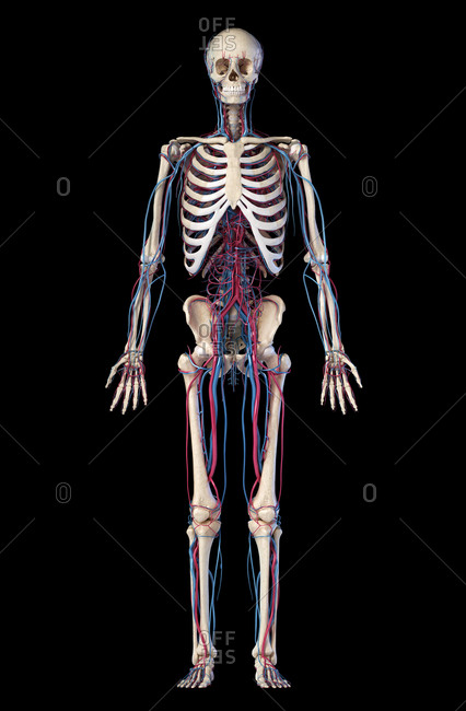 Human body anatomy. 3d illustration of Skeletal and cardiovascular systems. Viewed from the front. On black background.