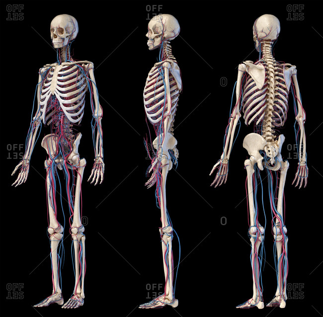 Human body anatomy. 3d illustration of Skeletal and cardiovascular systems. Three views. On black background.