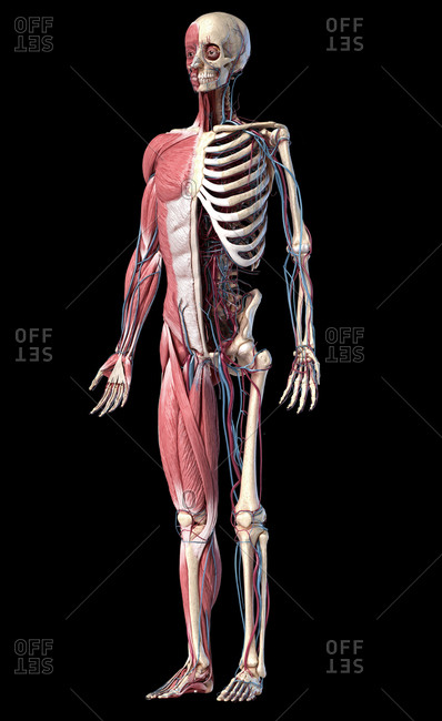 Human Anatomy full body skeletal, muscular and cardiovascular systems. Perspective view from the front, on black background. 3d illustration.