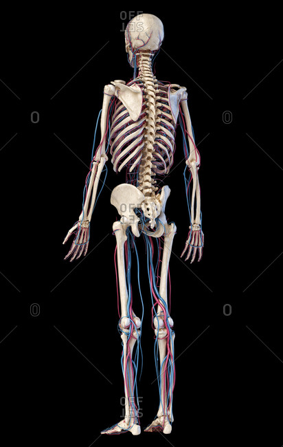 Human body anatomy. 3d illustration of Skeletal and cardiovascular systems. Viewed from rear perspective. On black background.