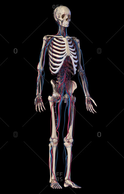 Human body anatomy. 3d illustration of Skeletal and cardiovascular systems. Viewed from front perspective. On black background.