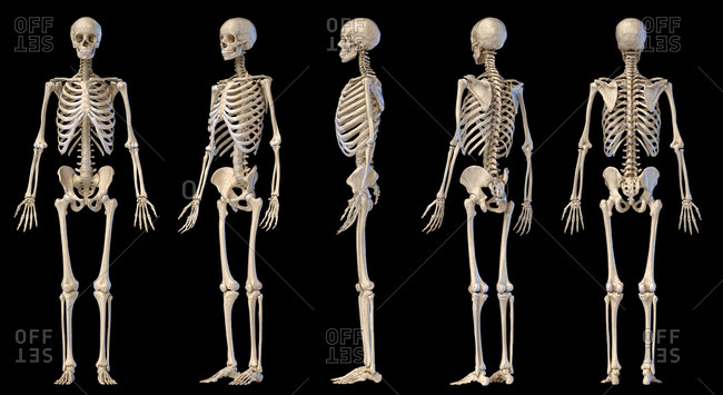 Human Anatomy full body male skeleton. Five views. Perspective, Front rear and side on black background. 3d illustration.