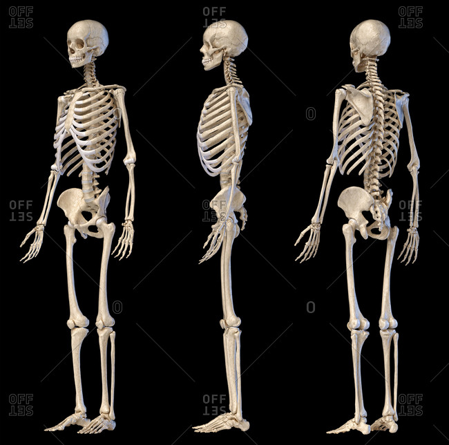 Human Anatomy full body male skeleton. Three views. Perspective Front rear and side on black background. 3d illustration.
