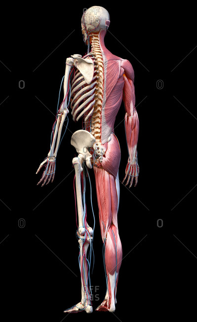 Human Anatomy full body skeletal, muscular and cardiovascular systems. Perspective view from the back, on black background. 3d illustration.
