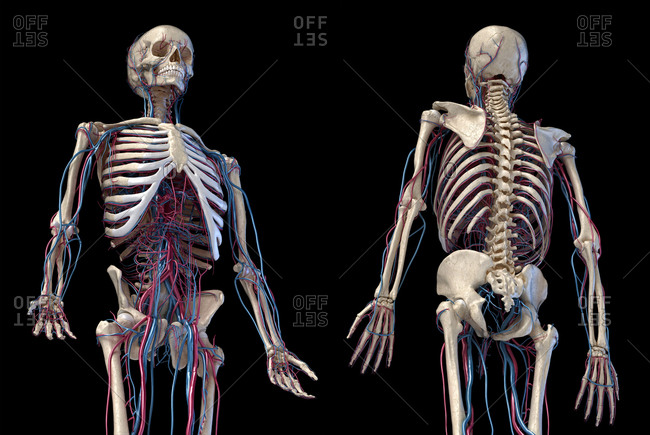 Human anatomy, 3d illustration. of the skeleton with cardiovascular system. Perspective view of 3/4 upper part, front and back sides. On black.