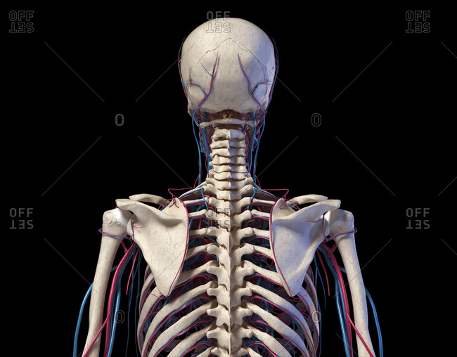 Human anatomy. Skeleton of the torso with veins and arteries. Back view. On black background. 3d illustration.