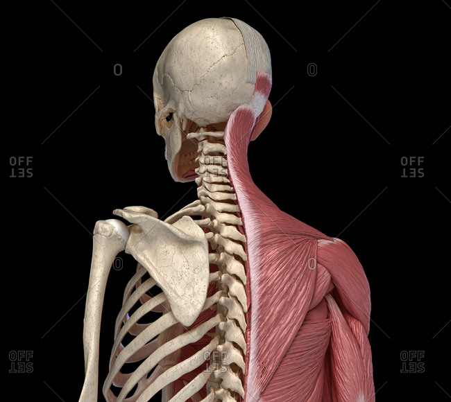 Human body, torso skeletal and muscular systems, back perspective view on black background. 3d anatomy illustration.