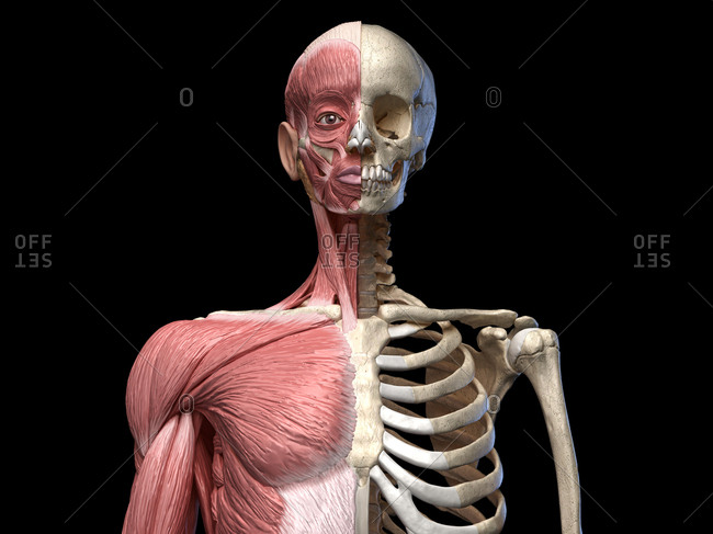 Human body, torso skeletal and muscular systems, front view on black background. 3d anatomy illustration.