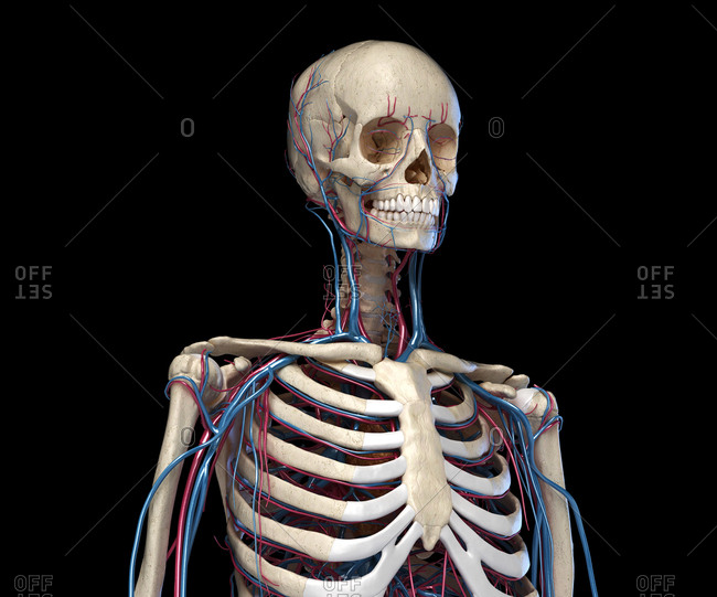 Human anatomy. Skeleton of the torso with veins and arteries. Front perspective view. On black background. 3d illustration.