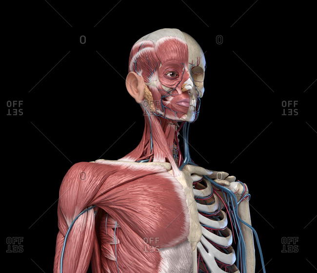 Human Anatomy Torso skeleton with muscles, veins and arteries. front perspective view, on black background. 3d anatomy illustration.