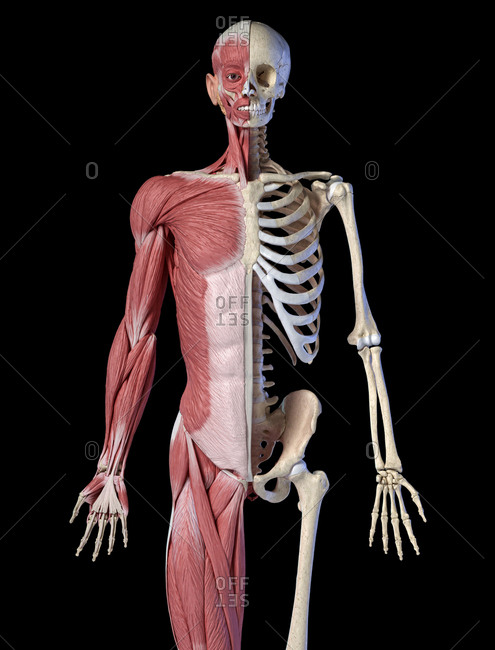 Human male anatomy, 3/4 figure muscular and skeletal systems, front view on black background. 3d anatomy illustration.