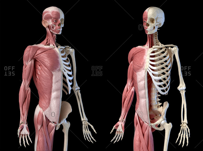 Human male anatomy, 3/4 figure muscular and skeletal systems, perspective front two views on black background. 3d anatomy illustration.