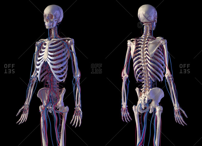 Human body anatomy. 3d illustration of Skeletal and cardiovascular systems. Front and back perspective views. On black background.
