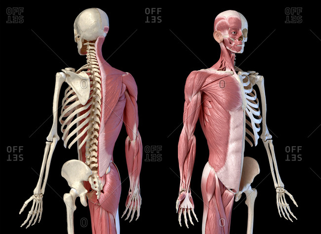 Human male anatomy, 3/4 figure muscular and skeletal systems, back and front perspective views. on black background. 3d anatomy.