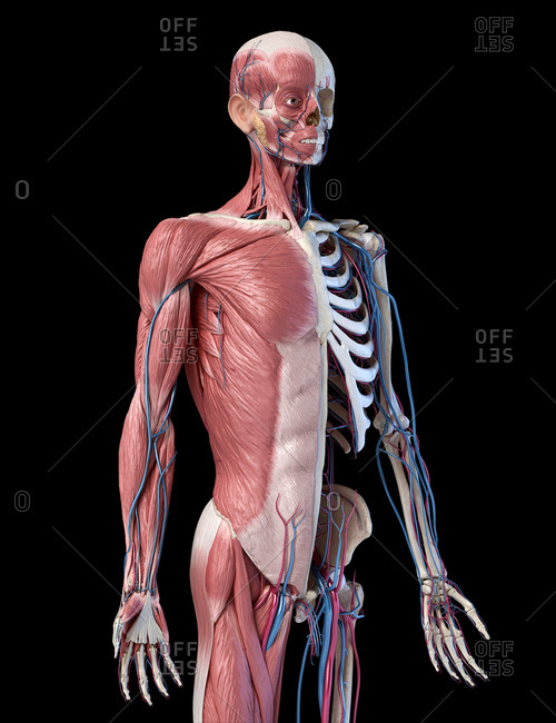 Human Anatomy 3/4 body skeletal, muscular and cardiovascular systems. Perspective view from the front, on black background. 3d illustration.