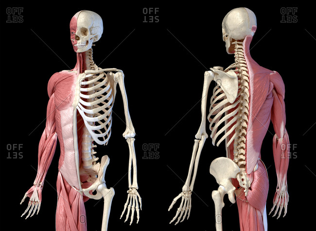 Human male anatomy, 3/4 figure muscular and skeletal systems, front and back perspective views. on black background. 3d anatomy.