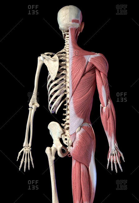 Human male anatomy, 3/4 figure muscular and skeletal systems, back view on black background. 3d anatomy illustration.