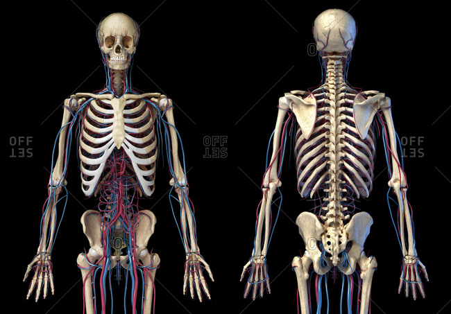 Human body anatomy. 3d illustration of 3/4 Skeletal and cardiovascular systems. Viewed from the front and back. On black background. 3d Illustration.