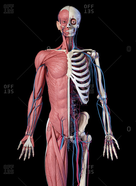 Human Anatomy 3/4 body skeletal, muscular and cardiovascular systems. Front view, on black background. 3d illustration.