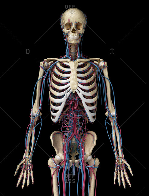 Human body anatomy. 3d illustration of 3/4 Skeletal and cardiovascular systems. Viewed from the front. On black background.