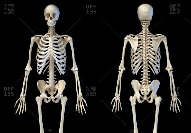 Human Anatomy 3/4 body male skeleton. Front and rear views on white background. 3d illustration.