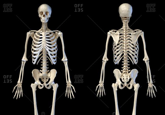 diagram of male skeleton human skeleton on white background stock photos offset  human skeleton on white background