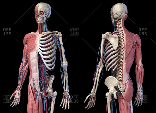 Human Anatomy 3/4 body skeletal, muscular and cardiovascular systems. Perspective Front and back views, on black background. 3d illustration.