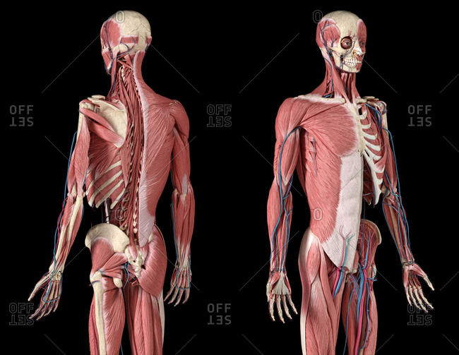 Human Anatomy 3/4 body skeletal, muscular and cardiovascular systems, with sub layers muscles. Perspective Front and back views, on black background. 3d illustration.