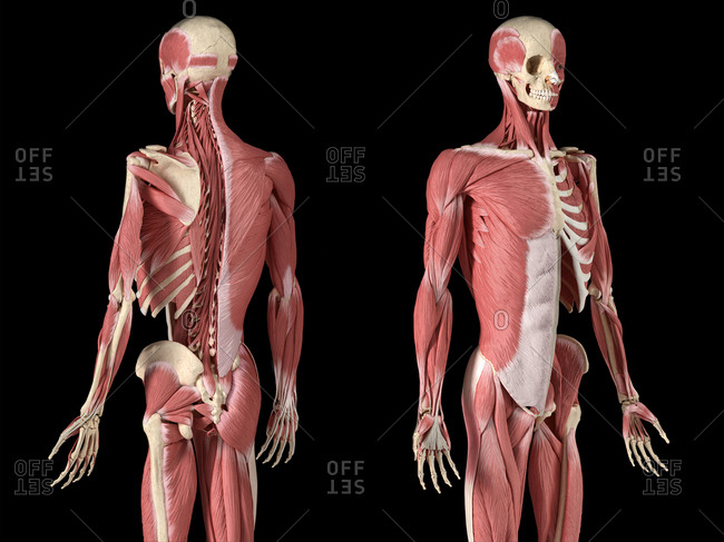 Human male anatomy, 3/4 figure muscular and skeletal systems, with internal muscle layers. Back and front perspective views. on black background. 3d anatomy illustration.
