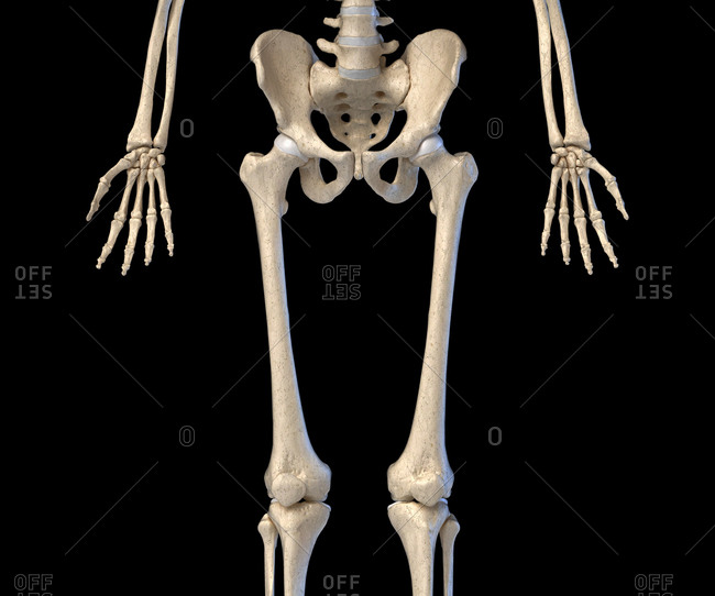 Human Anatomy, hip, limbs and hands skeletal system. Front view. On black background. 3d illustration.