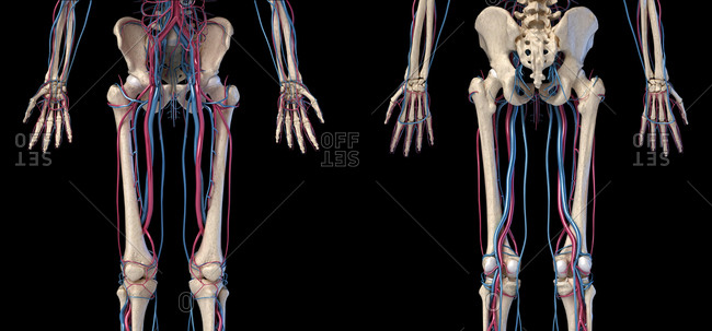 Human body anatomy. 3d illustration of Hip, legs and hands skeletal and cardiovascular systems. Viewed from the front and back. On black background.