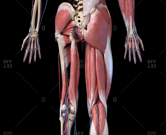 Human Anatomy, limbs and hip skeletal, muscular and cardiovascular systems, with sub layers muscles. back view, on black background. 3d illustration.