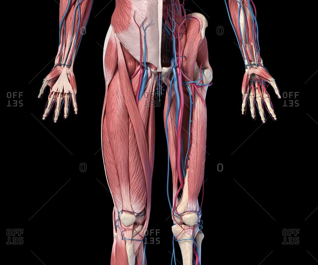 Human Anatomy, limbs and hip skeletal, muscular and cardiovascular systems, with sub layers muscles. Front view, on black background. 3d illustration.