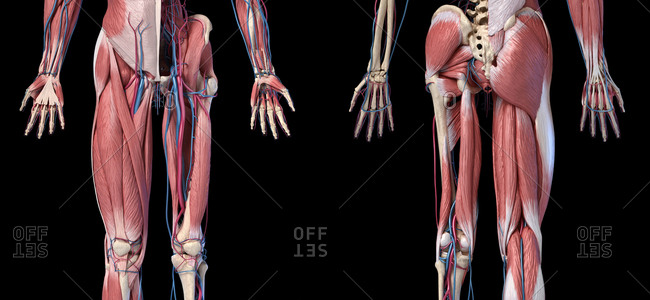 Human Anatomy, limbs and hip skeletal, muscular and cardiovascular systems, with sub layers muscles. Front and rear views, on black background. 3d illustration.