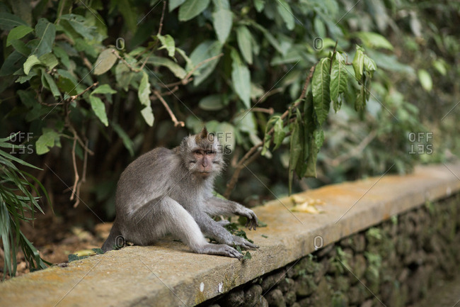 Monkey sitting on a stone wall in nature