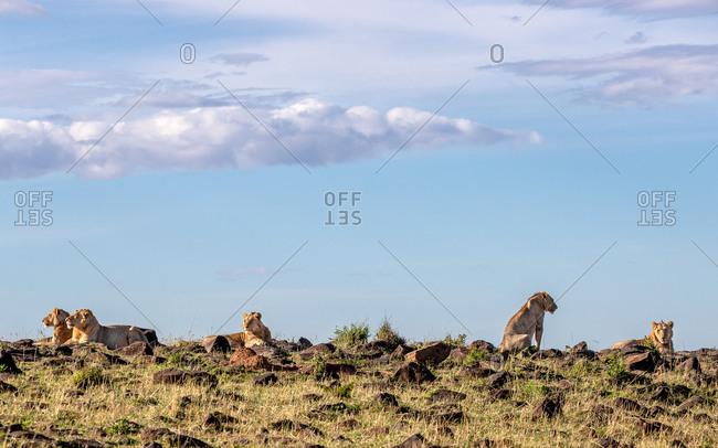 Five lion brothers in the Masai Mara enjoying the morning sun