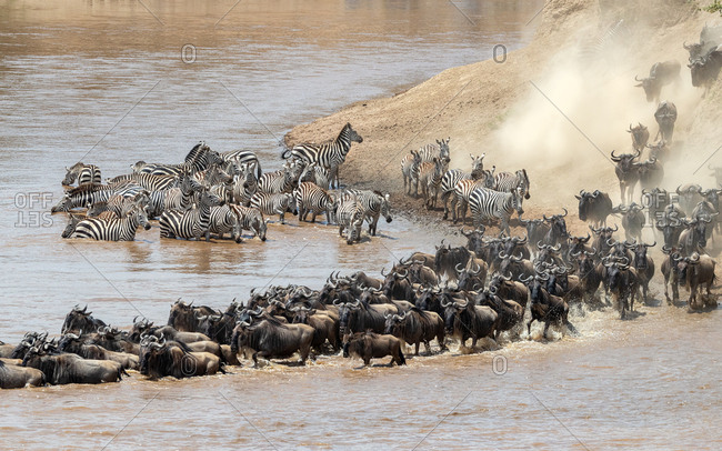 Wildebeest and zebra cross the Mara River during the annual great migration in Masai Mara, Kenya