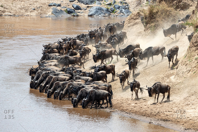 Wildebeest drink from the Mara river