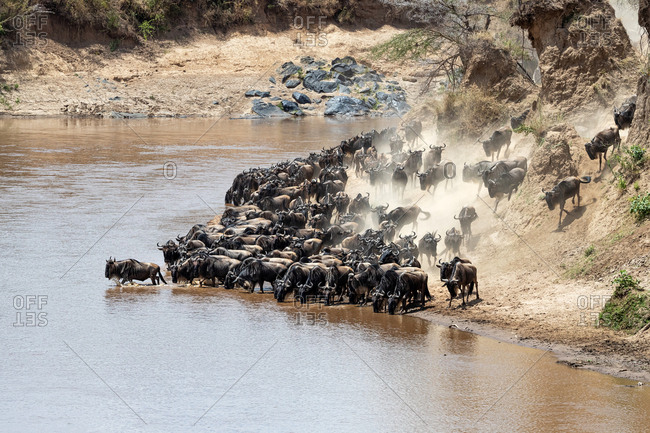 Wildebeests on the banks of the Mara River during the annual great migration