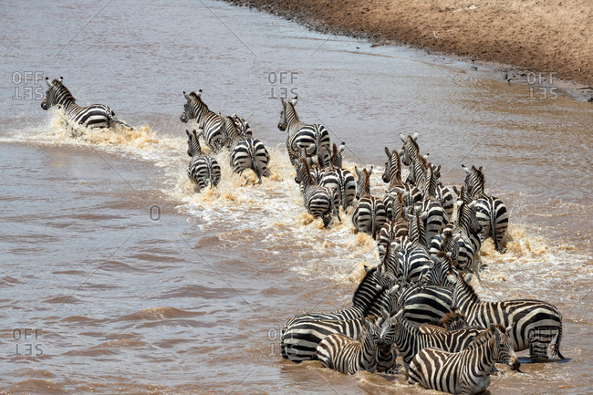 A herd of zebra cross the Mara River during the annual Great Migration in Masai Mara, Kenya